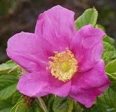 Pink rock-rose Cistus incanus bio